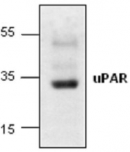 GTX59908 - CD87 / uPAR