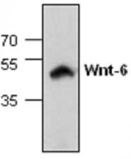 GTX59917 - WNT6