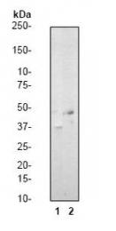 GTX61045 - CREB1