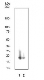 GTX61067 - Histone H3.1t