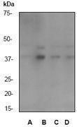 GTX61184 - MAP kinase p38 alpha / MAPK14