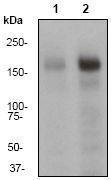 GTX61353 - EGFR / ERBB1