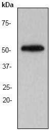 GTX61483 - alpha Tubulin / TUBA1B