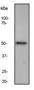 GTX61575 - Integrin-linked protein kinase
