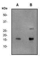 GTX61796 - Histone H2A.x