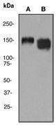 GTX61872 - CD29 / Integrin beta-1