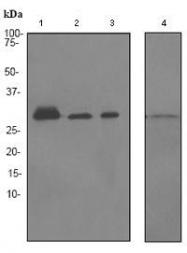 GTX62328 - 14-3-3 protein epsilon