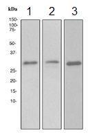 GTX62451 - 14-3-3 protein epsilon