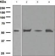 GTX62795 - Apolipoprotein H (Apo H)