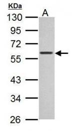 GTX628459 - c-Myc