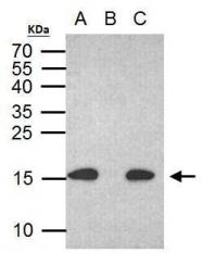 GTX628789 - Histone H2A.x