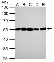 GTX628802 - alpha Tubulin / TUBA1B