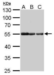 GTX628802-01 - alpha Tubulin / TUBA1B