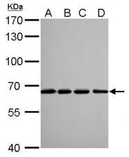 GTX628803 - Lamin-B2 (LMNB2)