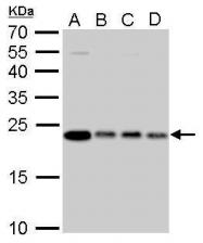 GTX628889 - Glyoxalase I / GLO1