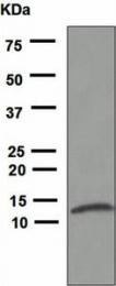 GTX62979 - Interleukin-8 / IL8