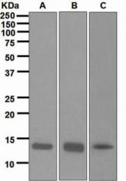 GTX62983 - Histone H2A.x