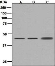 GTX63273 - Tomoregulin-2 / TMEFF2