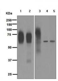 GTX63372 - CD33 / SIGLEC3