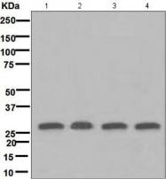 GTX63424 - 14-3-3 protein theta