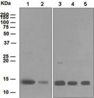 GTX63428 - Cytochrome c