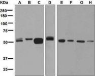 GTX63679 - Amine Oxidase B