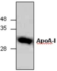 GTX65006 - Apolipoprotein A I (APO AI)