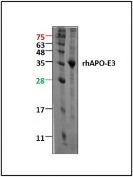 GTX65008 - Apolipoprotein E / Apo E