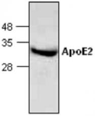 GTX65009 - Apolipoprotein E / Apo E