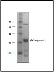GTX65037 - Caspase-6