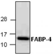 GTX65076 - FABP4