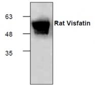 GTX65189 - Neurotrophin 4 / NTF4