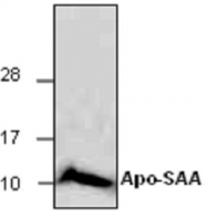 GTX65234 - Serum Amyloid A protein (SAA)
