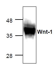 GTX65281 - WNT1