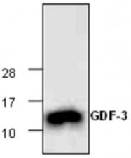 GTX65306 - GDF3