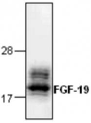 GTX65308 - FGF19