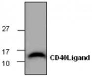 GTX65393 - CD154 / CD40L