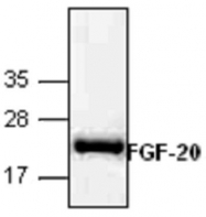 GTX65416 - FGF20