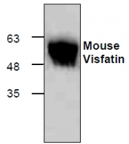 GTX65439 - Visfatin / NAMPT