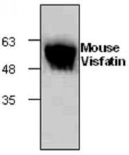 GTX65440 - Visfatin / NAMPT