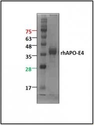 GTX65523 - Apolipoprotein E / Apo E