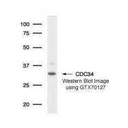 GTX70127 - CDC34