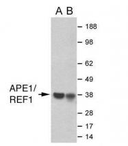 GTX70129 - APEX1 / REF-1