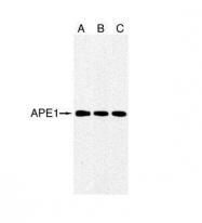GTX70131 - APEX1 / REF-1