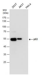 GTX70214 - TP53 / p53
