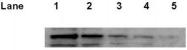GTX70216 - TP53 / p53