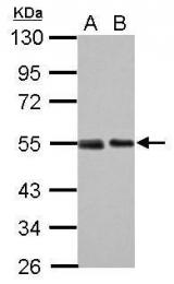 GTX70218 - TP53 / p53