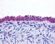 GTX70283 - Interleukin-6 / IL6
