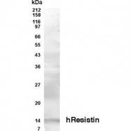 GTX70406 - Resistin
