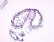 GTX70525 - Muscarinic acetylcholine receptor M5